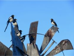 Yellow-billed Magpies